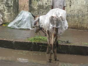 Cow in a raincoat... only in India!